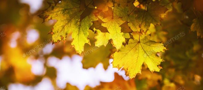 Autumn orange leaves over blurred sky