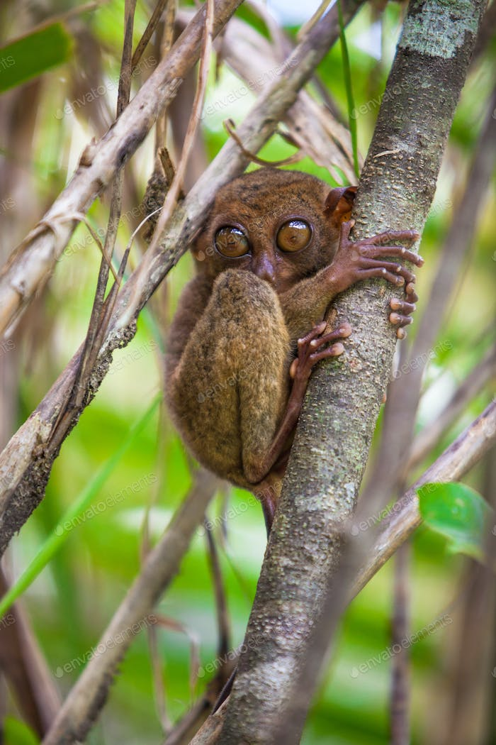 Small cute tarsier on the tree in natural environment at Bohol island, Philippines