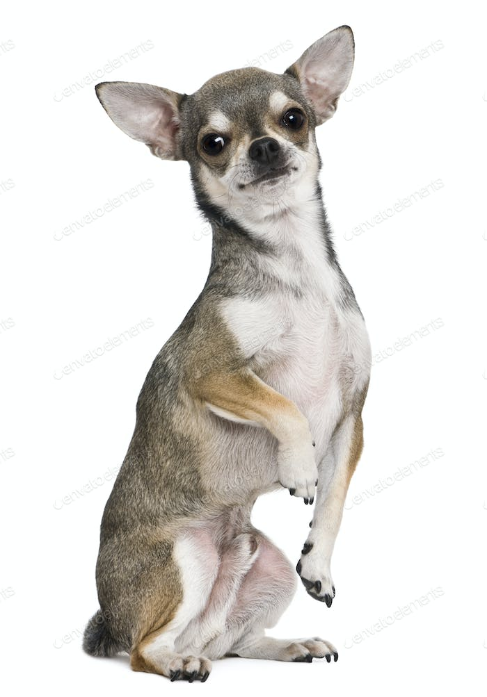 Chihuahua, 3 years old, on hind legs, in front of white background