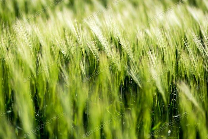 Barley green fields