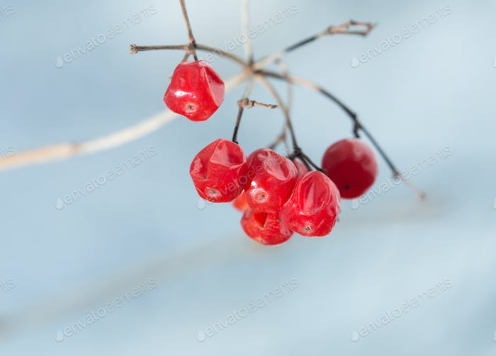 Red dried berries on branch.