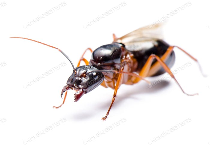 Black Carpenter Ant (Camponotus pennsylvanicus)