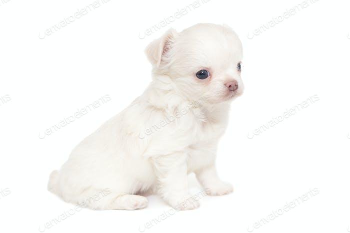 Small white Chihuahua puppy