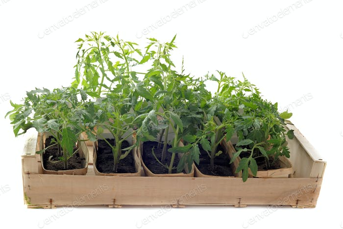 Tomatoes seedling