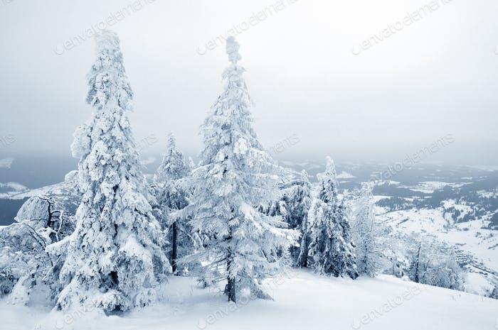 Photo of pine trees covered in snow