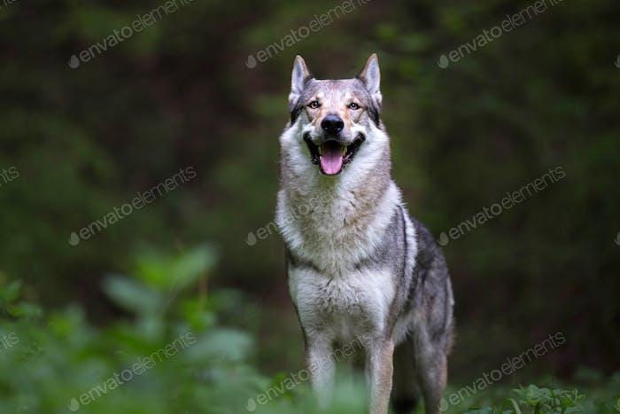 Purebred Czech Wolfdog
