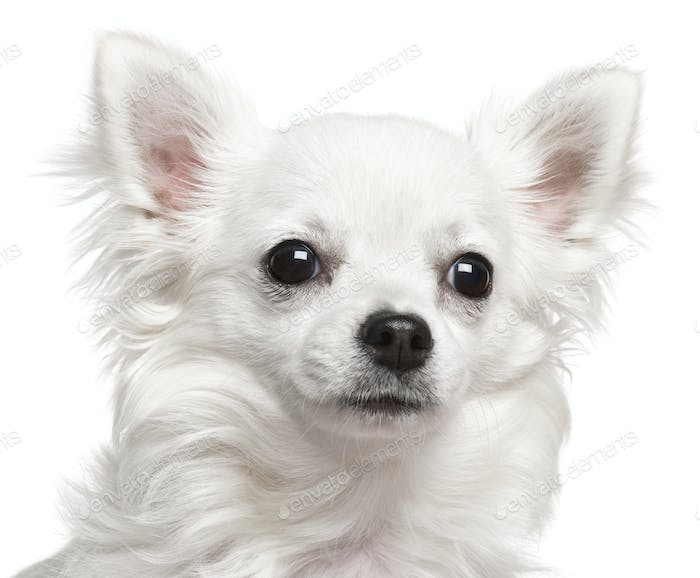 Close-up of Chihuahua, 7 months old, in front of white background