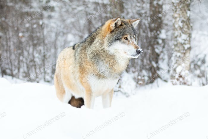 Beautiful alpha male wolf stands in the snow in beautiful winter forest