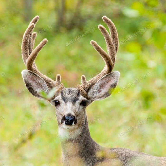 Velvet antler mule deer buck portrait