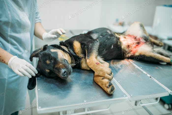 Dog on a surgery operation in veterinary clinic