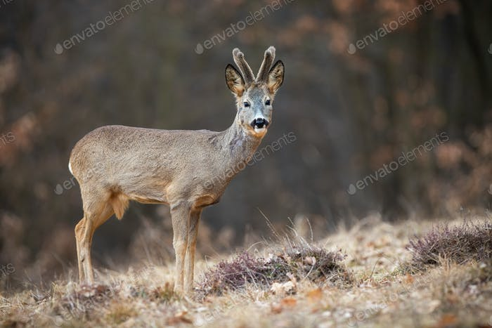 Young roe deer buck with growing antlers standing on the meadow in spring