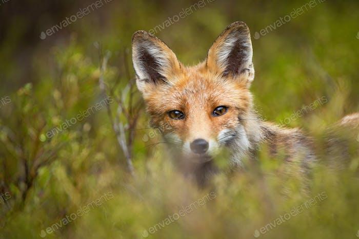 Roter Fuchs aus grüner Vegetation in den Bergen