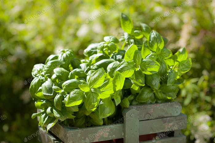 fresh basil herbs in rustic container in garden