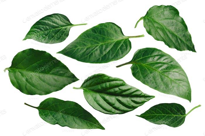 Capsicum annuum pepper leaves, paths