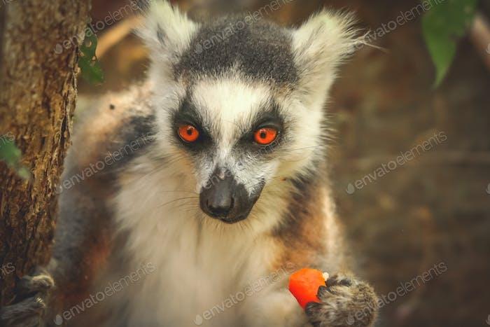 Lemur essen orange Haut