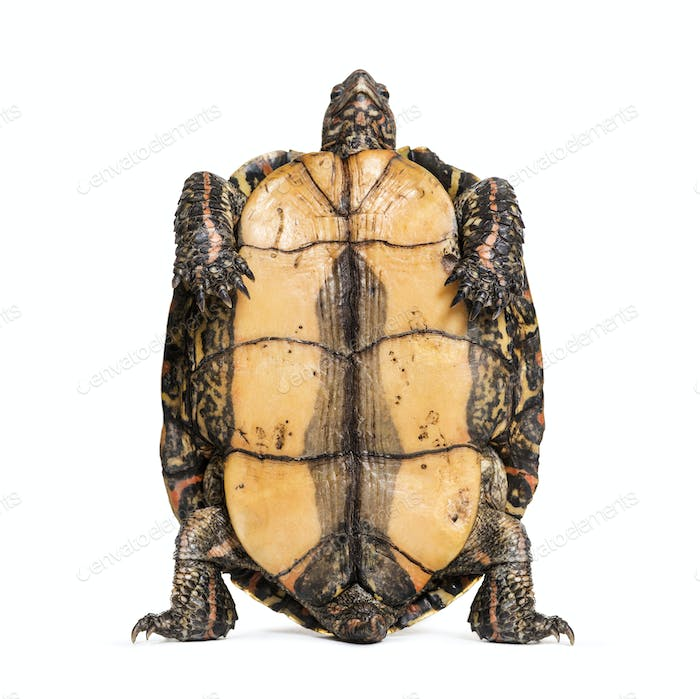 Plastron of the ornate or painted wood turtle, Rhinoclemmys pulcherrima