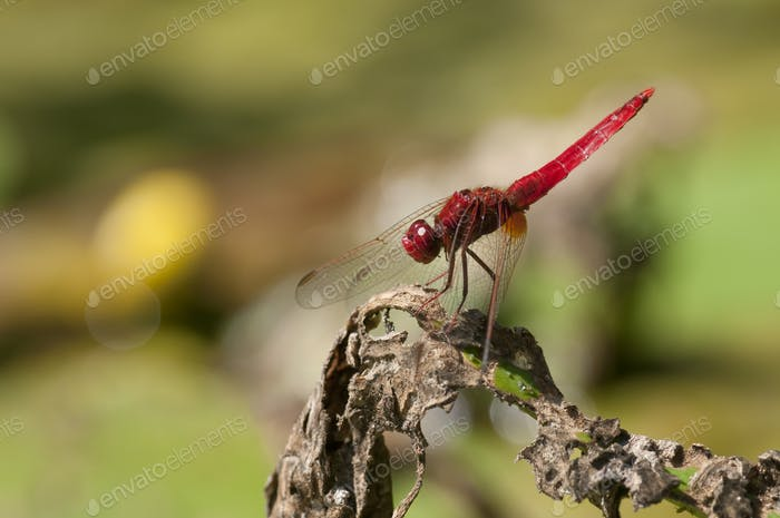 Red Dragondly Basking in the Sun