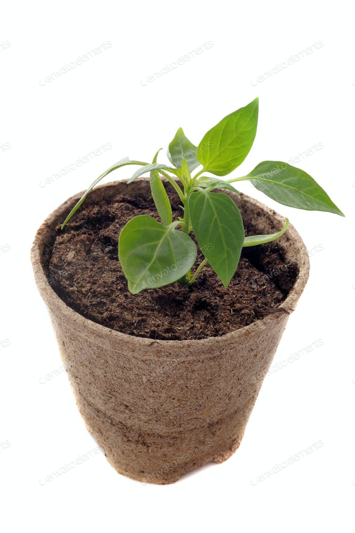 bell pepper seedling