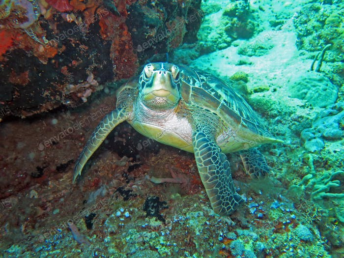 Hawksbill sea turtle current on coral reef island, Bali