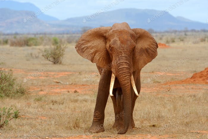 Elephant on savannah in Africa