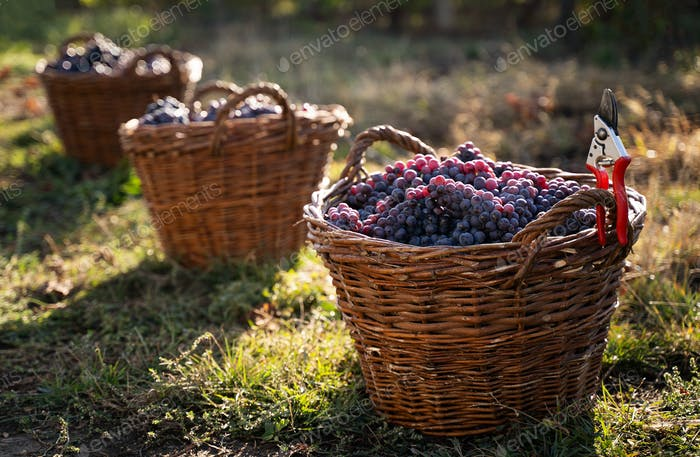 row of freshly harvested grapes in wicker baskets