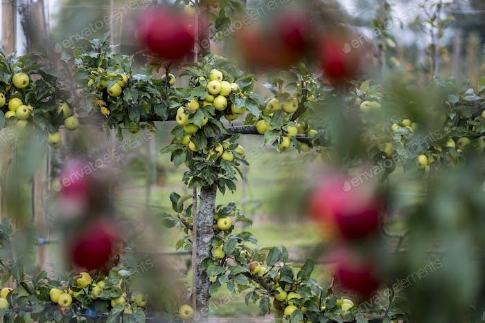 Apfelbäume in einem Bio-Obstgarten im Herbst, rote Früchte bereit für die Ernte auf Zweigen von