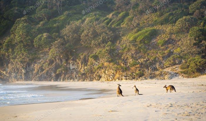 Kangaroos On Beach At Dawn