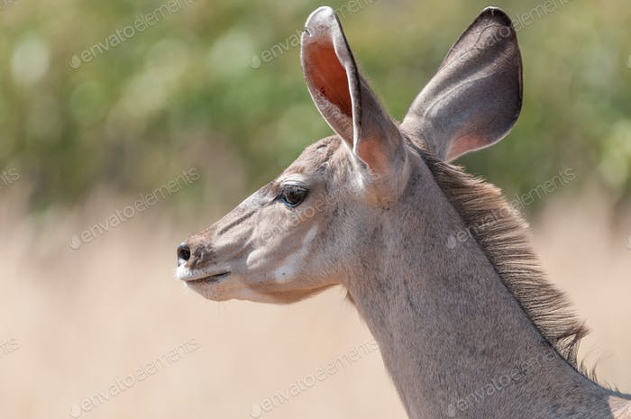 Close-up of a greater kudu cow, North-Western Namibia