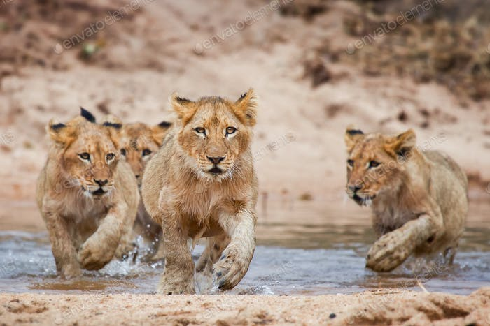 Lion cubs, Panthera leo, lies on a boulder, run through shallow water, direct gaze