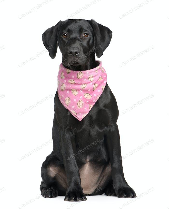 puppy Labrador (4 months)