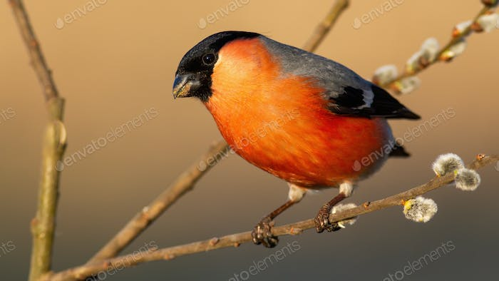 Eurasian bullfinch with red feathers perched on blooming willow branch