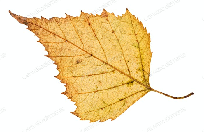 back side of fallen leaf of birch tree isolated
