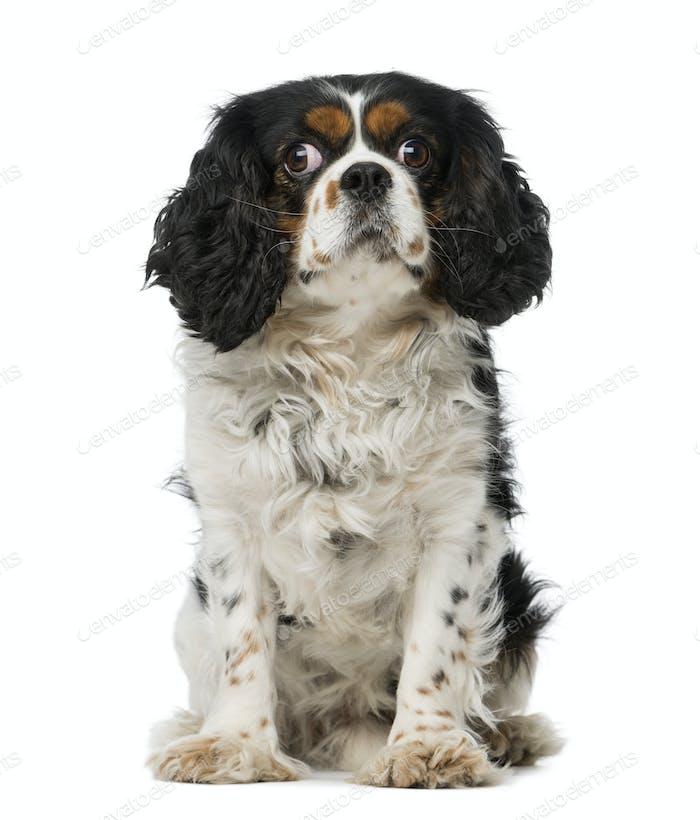 cavalier king charles spaniel (5 years old)