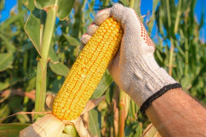 Farmer hand picking ripe corn on the cob