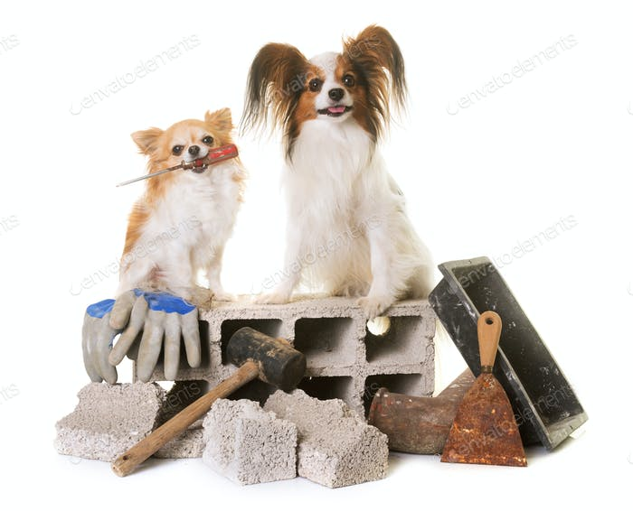puppy pappillon dog, chihuahua and masonry