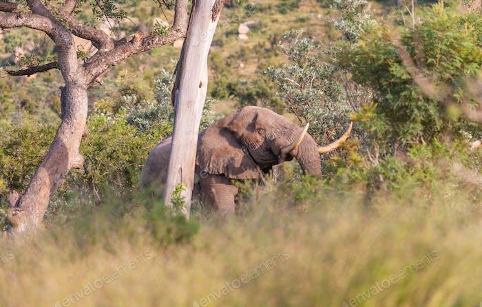 Tusker Elephant in Kruger Park