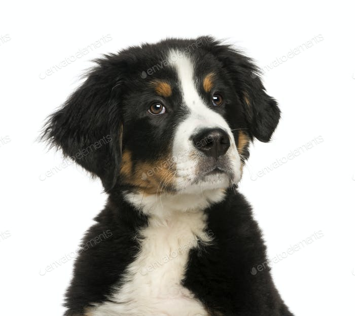 close-up of a Young Bernese Mountain dog, 3,5 months old, isolated on white