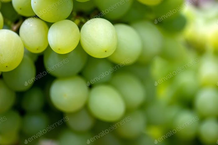 Close-up of bunches of ripe wine grapes