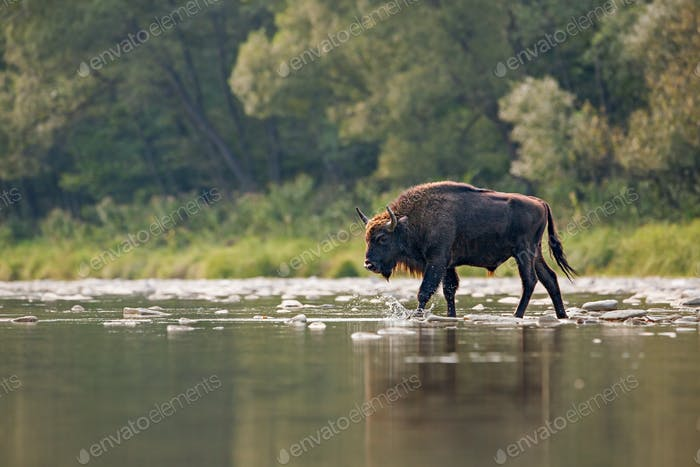 Bull of european bison, bison bonasus, crossing a river
