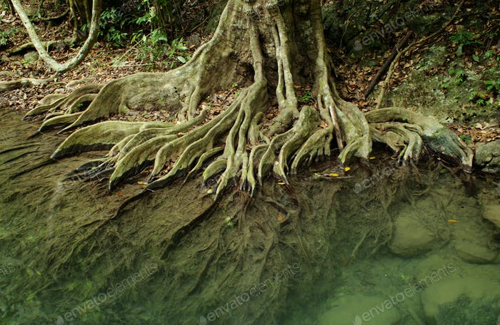 Wurzelsystem eines Baumes im tropischen Wald