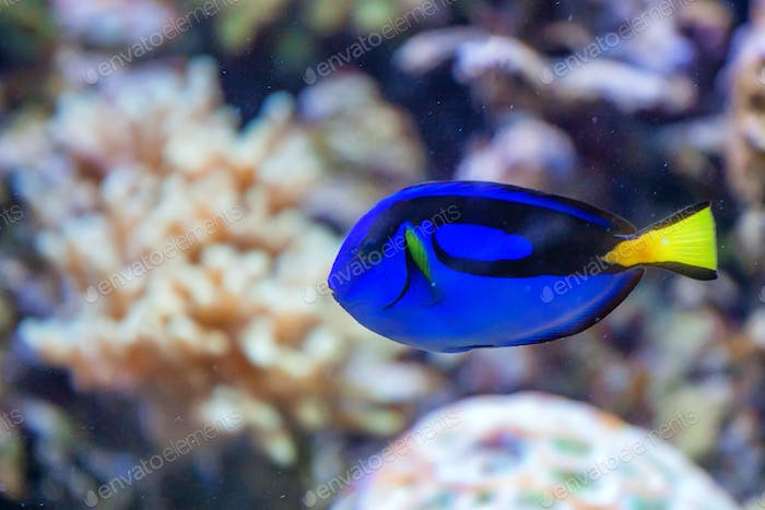 Blue regal tang or Paracanthurus hepatus in tank
