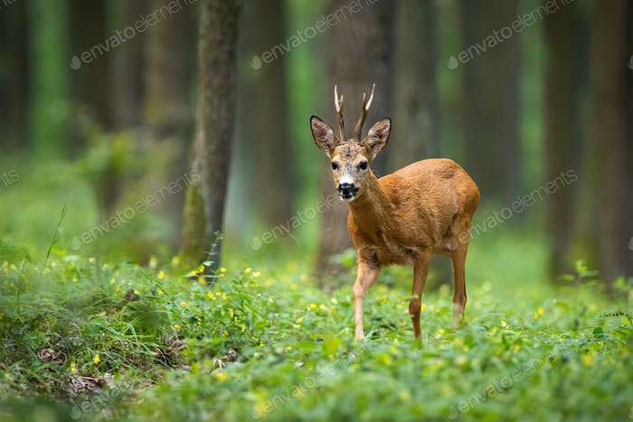Roe deer walking on the forest between flowers with trees in the background