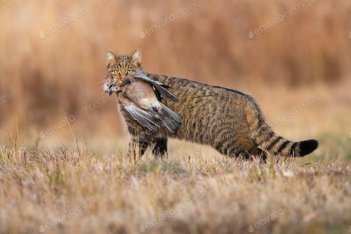 Fierce european wildcat holding dead bird in mouth in autumn