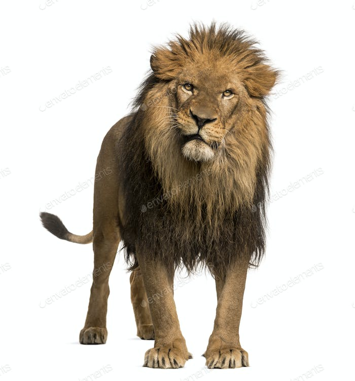 Lion standing, looking at the camera, Panthera Leo, 10 years old, isolated on white