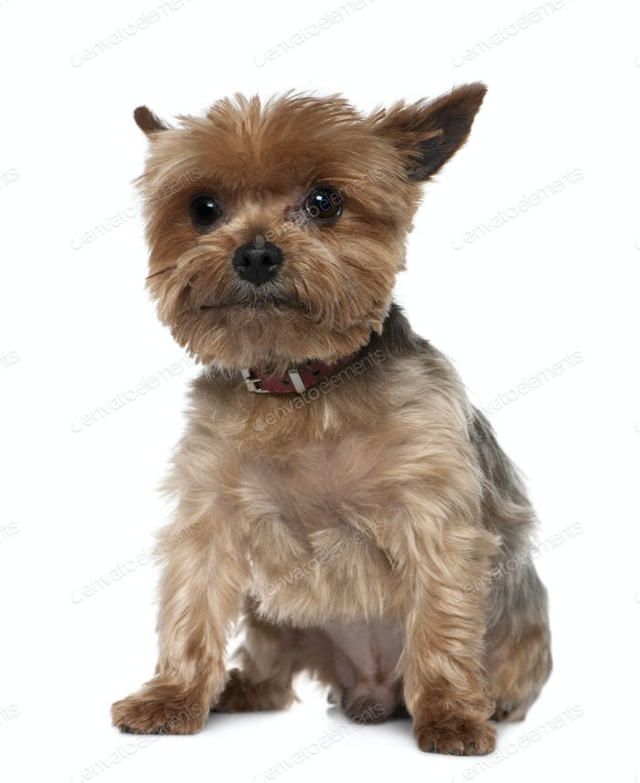 Yorkshire Terrier, 8 years old, sitting in front of white background