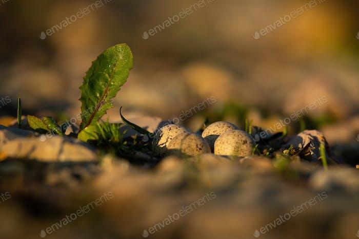 Nest eines kleinen Ringelregenpfeifers auf dem Boden mit vier gefleckten Eiern