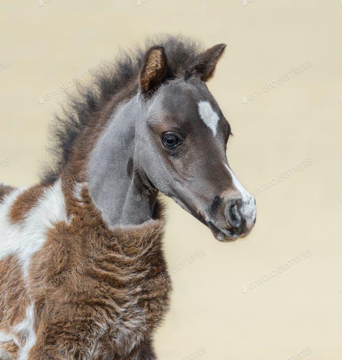 American miniature silver bay skewbald foal.