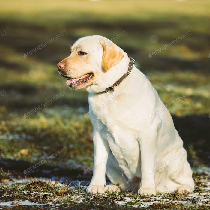 Beautiful White Labrador Dog assis en plein air