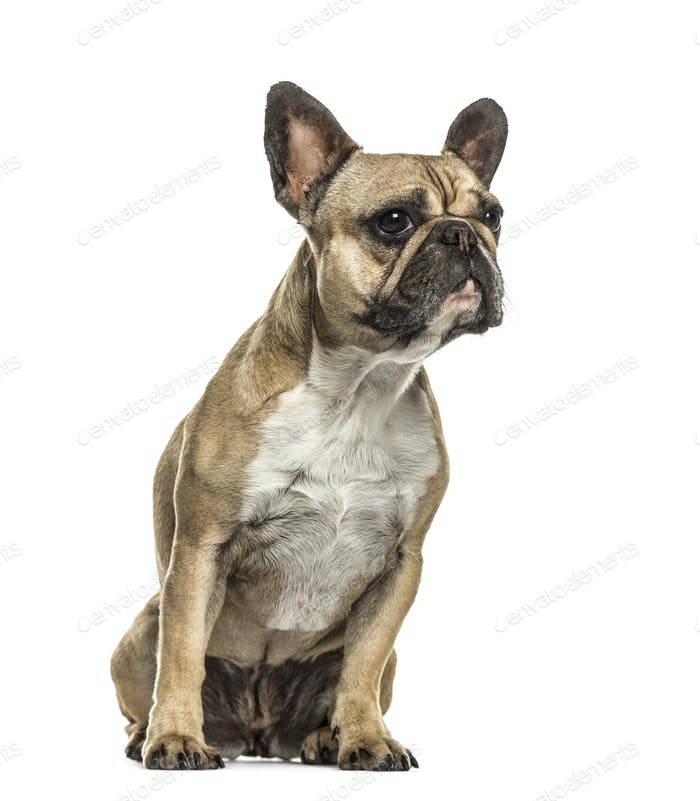 French bulldog sitting looking away, isolated on white