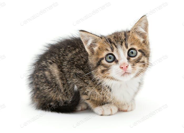 Sad gray kitten